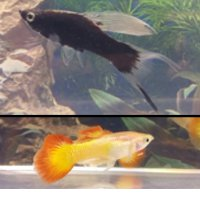 Berlin Black HiFin Lyretail Swordtail, Tequila Sunrise Guppy