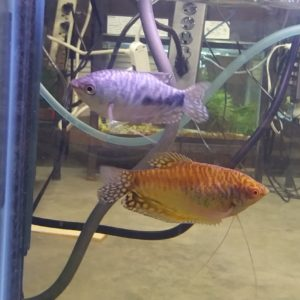 Opaline and Gold Gourami